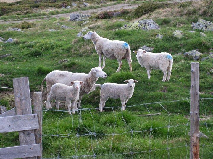 Lammelevergryte