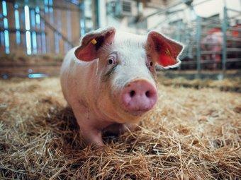 Bli kjent med den norske grisen!