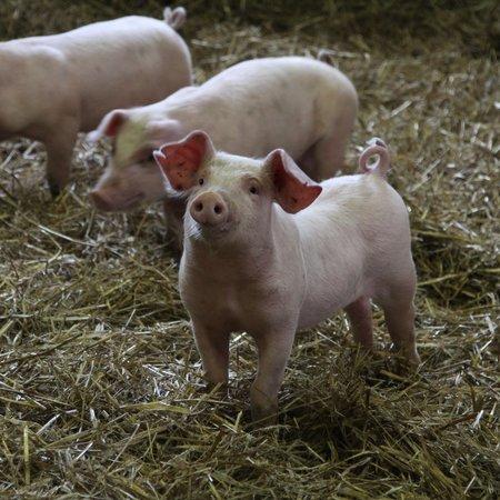 gris smågriser