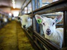 Strenge krav til dyrevelferd