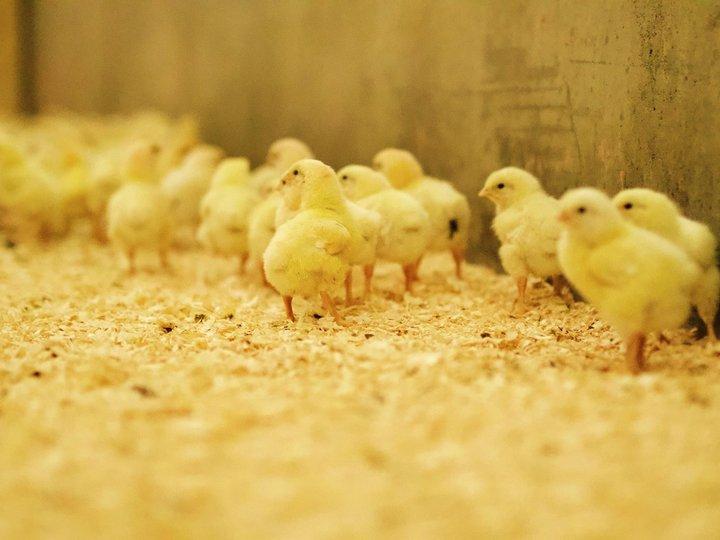 I kyllinghuset er det alltid fint vær