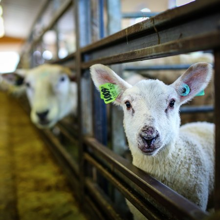 Dyrevelferd, lam i fjøs