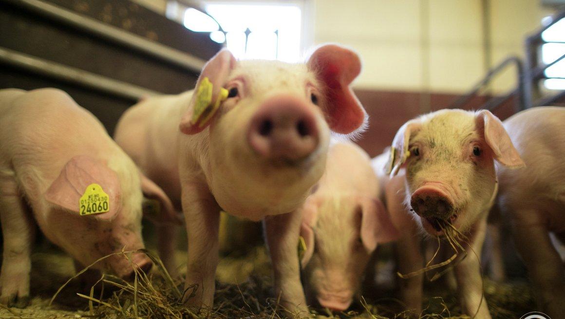 Tall og fakta om svinekjøtt