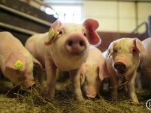 Svinekjøtt: Tall og fakta