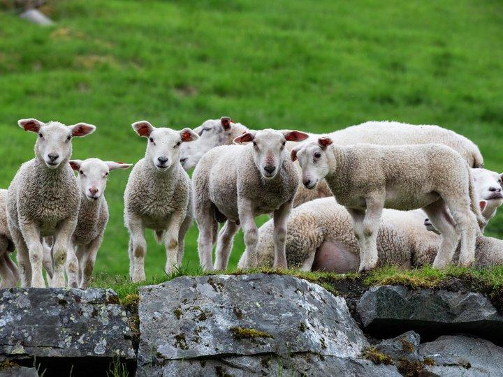Dyrevelferd for norsk sau og lam