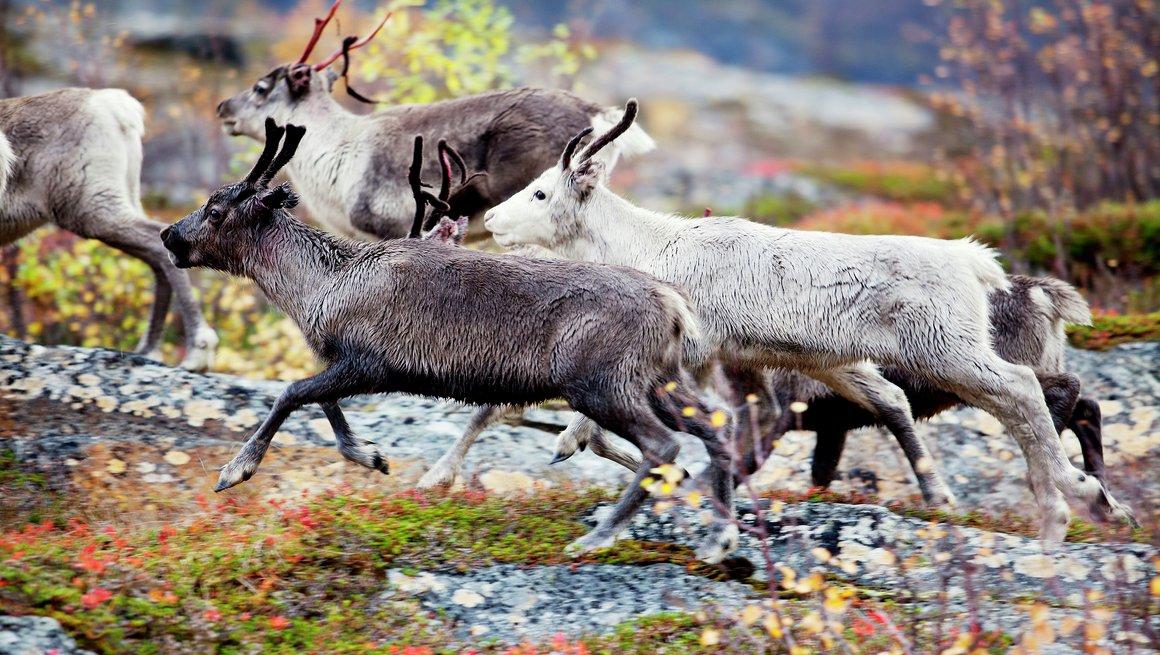 Nærbilde av reinsdyr