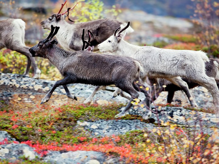 Hvordan lever norsk rein?