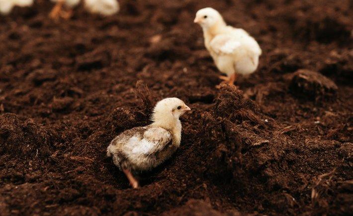 Vigrestad kylling