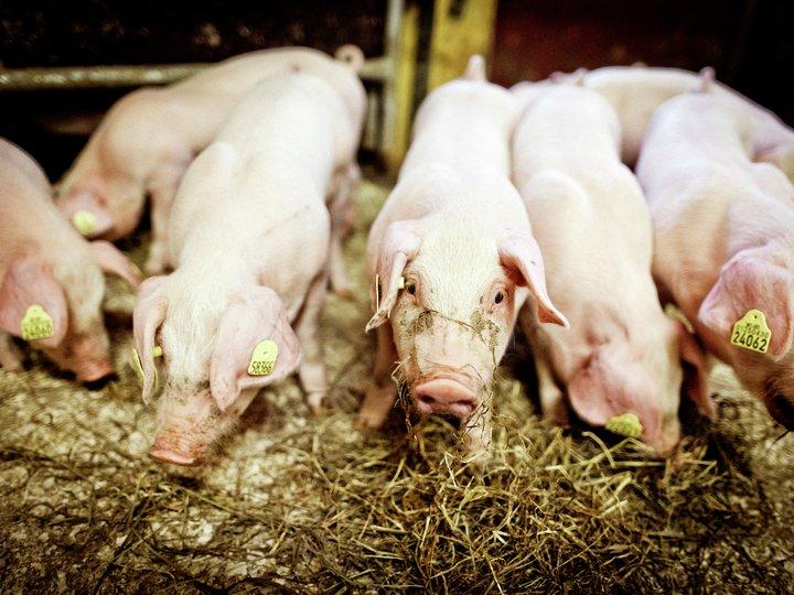 Hvordan lever grisen
