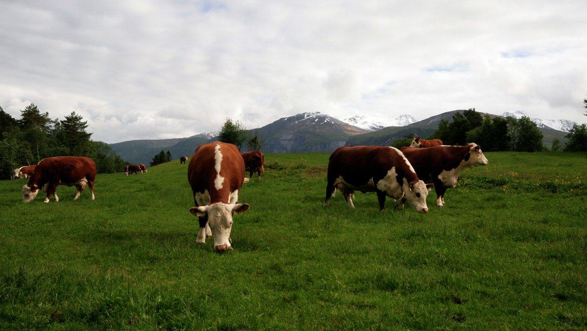 Herefordbesetning på beite i Eresfjord