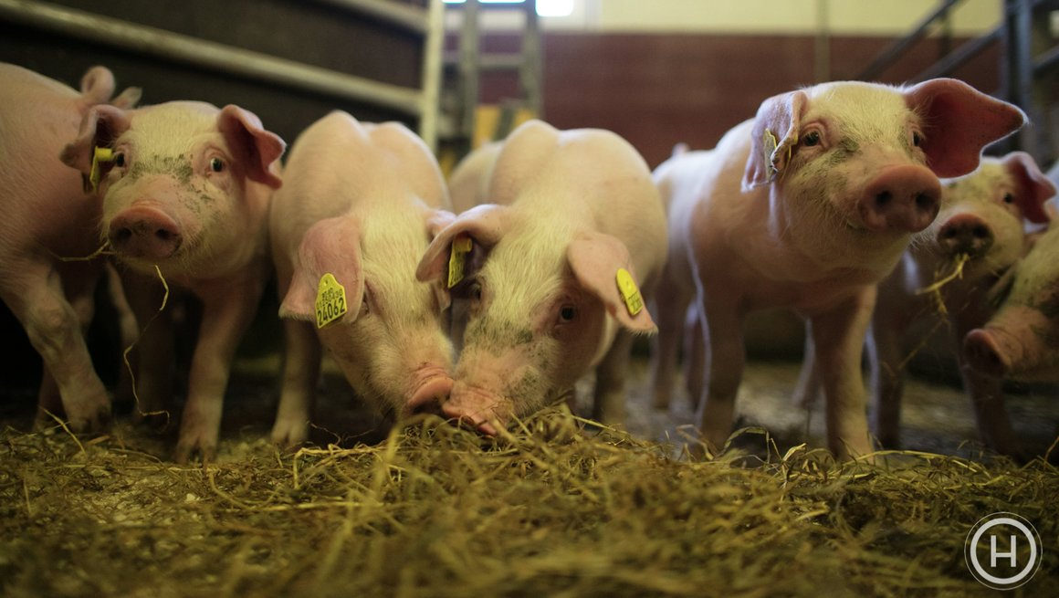 Bilder hos svinebonde - ikke til bruk