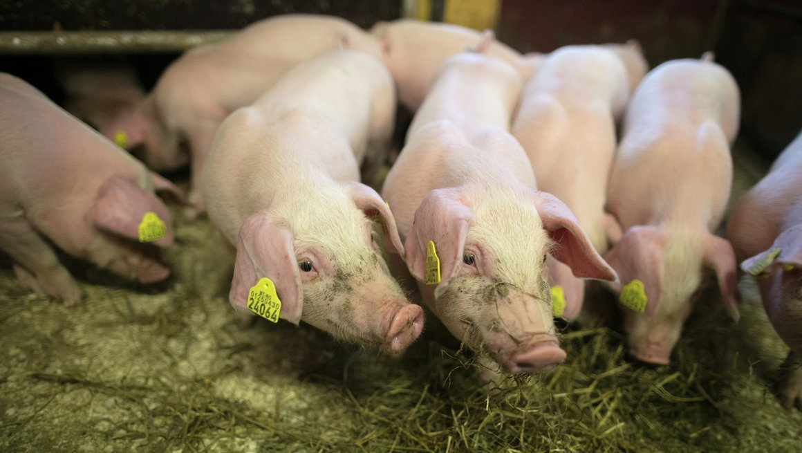 Lavt antibiotikabruk i norsk husdyrhold