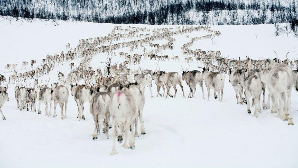 Reinsdyr i flokk vinter