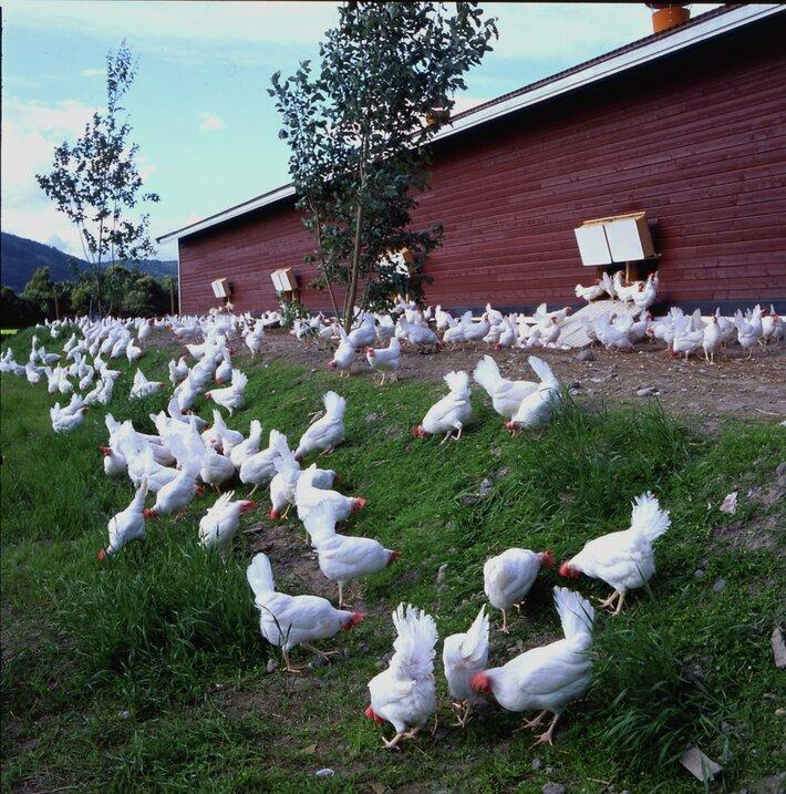 Økologiske høner ute på gress