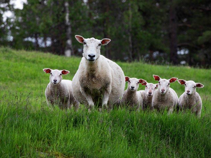 Sau og lammeproduksjon